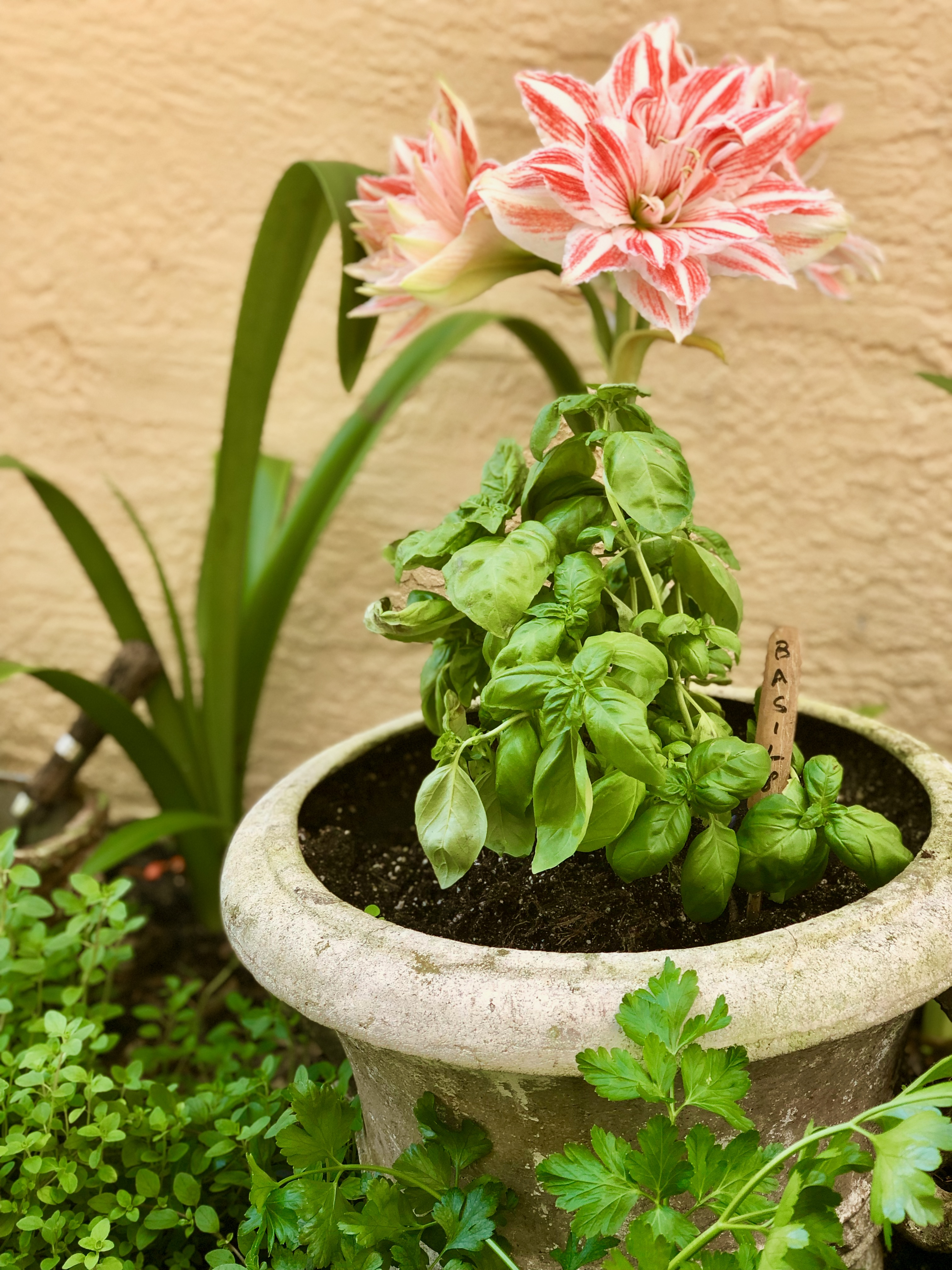 Amaryllis featured in herb garden with oregano, parsley and basil