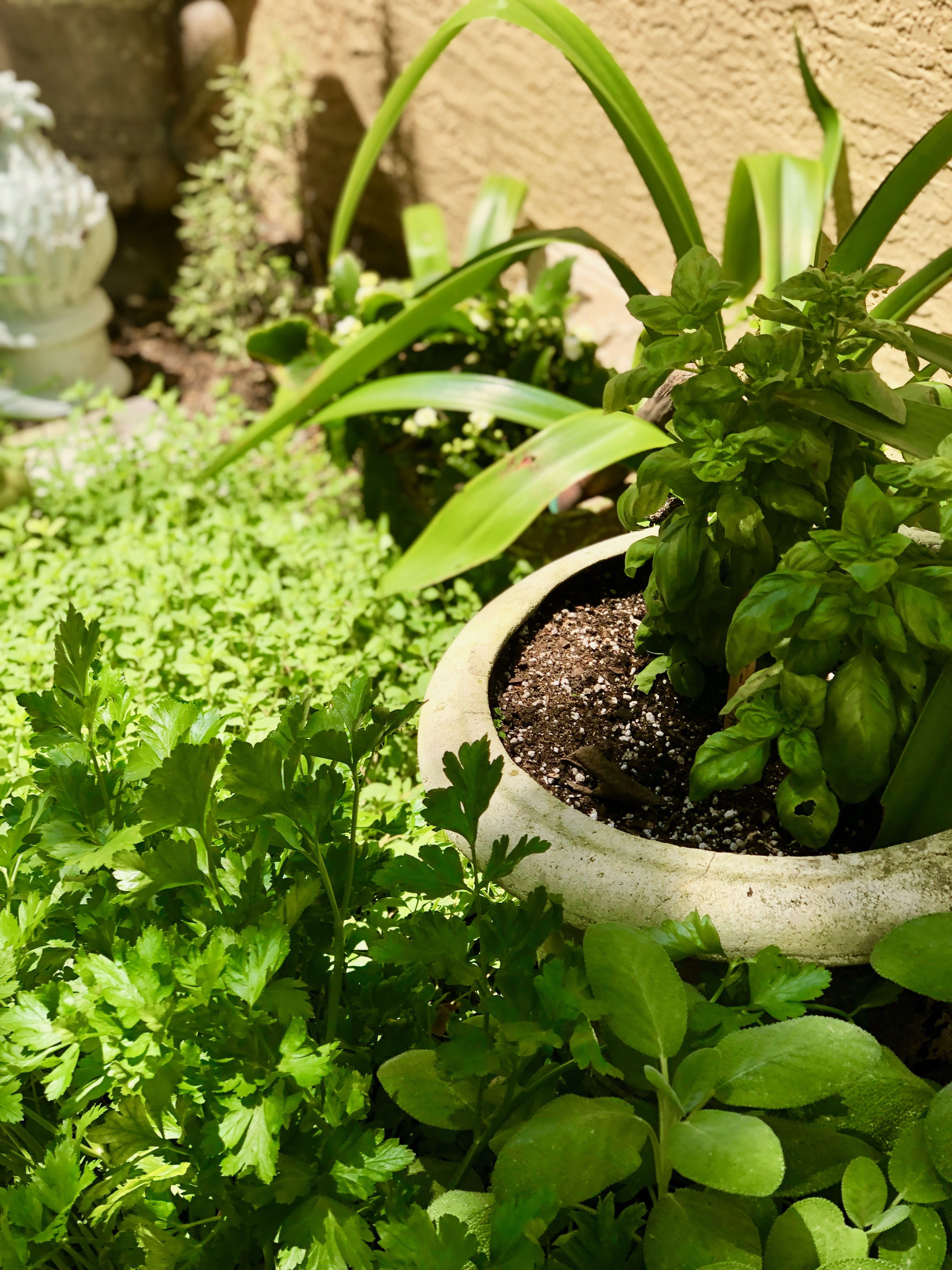 Herb garden with pot filled with basil surrounded by sage, Italian parsley, thyme and oregano. Garden finial in background
