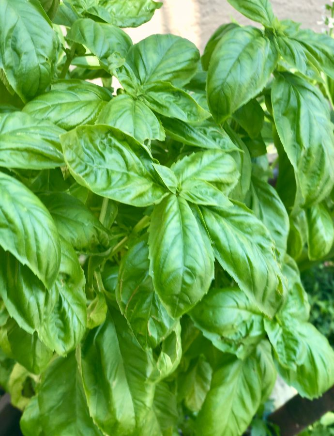 When Life Gives You Basil – Make Pesto!